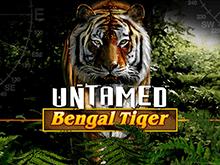 Дикий Бенгальский Тигр с высокими коэффициентами